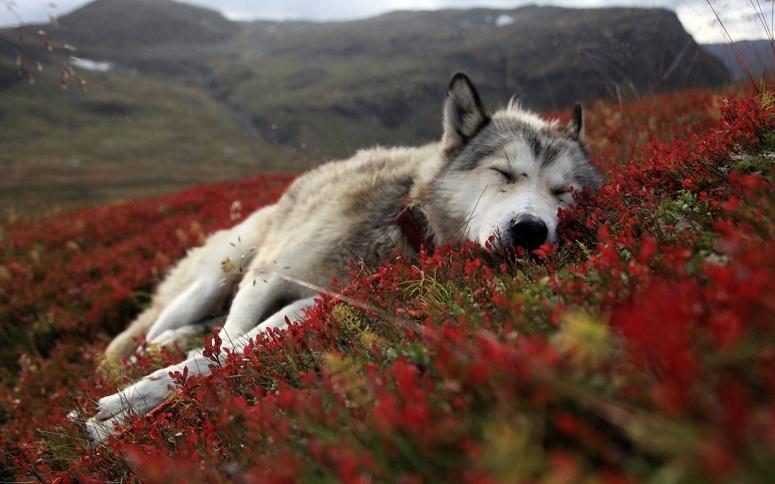 perro-lobo-descanzando-4402